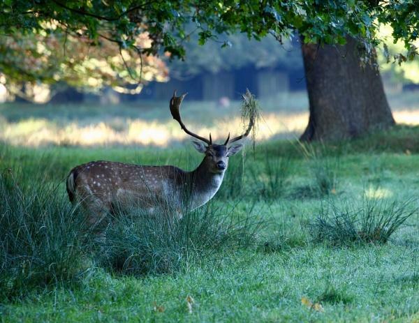 Fallow Deer by Peter_West