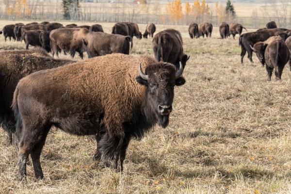 Bison Grazing by StrayCat