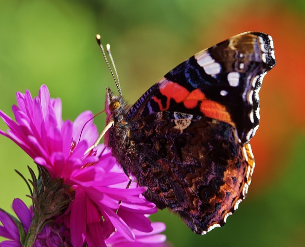 Red Admiral by georgiepoolie