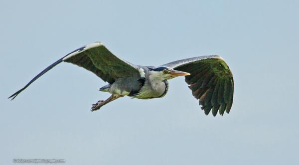 Grey Heron in flight by brian17302