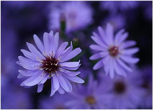 Deep Purple by johnriley1uk