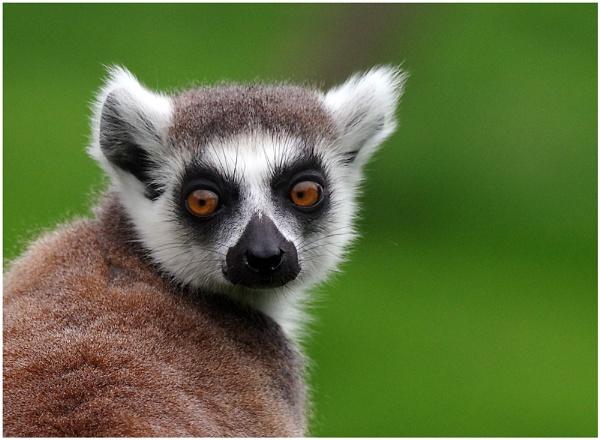Inquisitive Lemur by johnriley1uk
