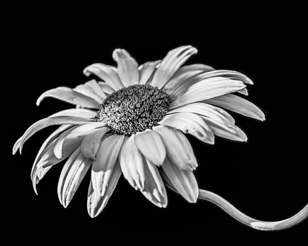 Daisy by sarumboy