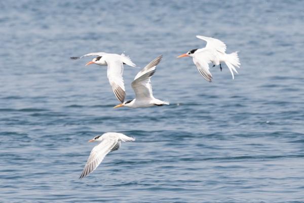 Elegant  Terns by nobby1