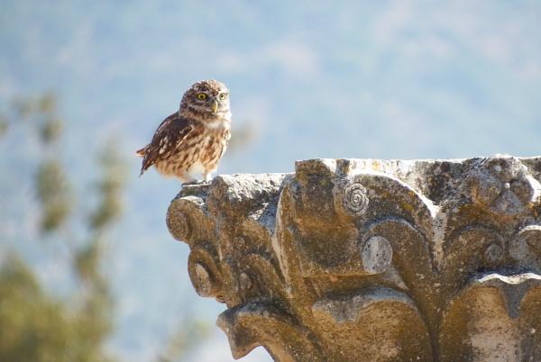 Little Owl by Nigeltraveller