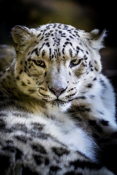 Snow leopard by grahammooreuk