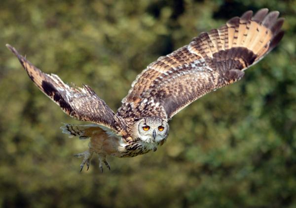 Eagle Owl in flight by paultee