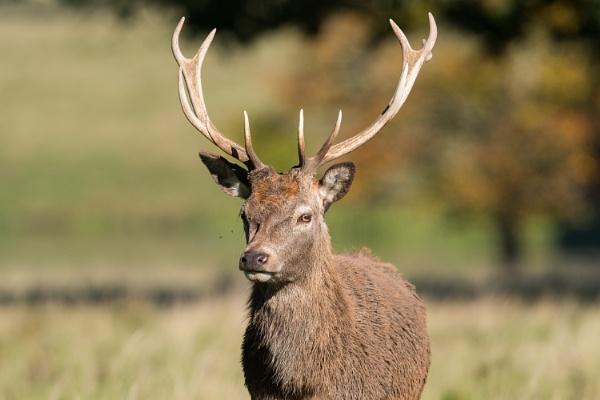 Red Deer by John_Wannop