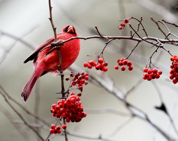 Winter Cardinal by bobdaveant