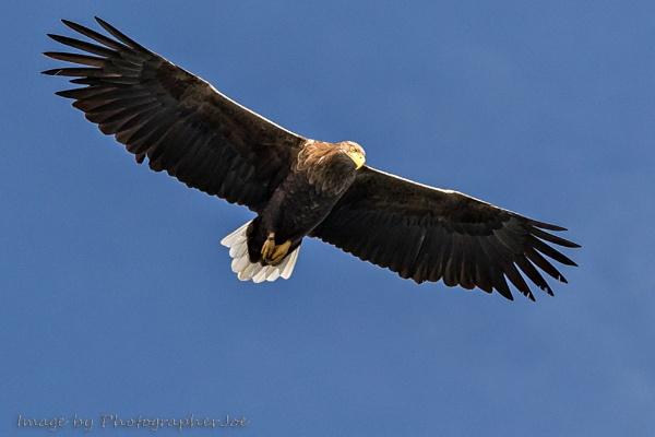 White Tailed Eagle by photographerjoe