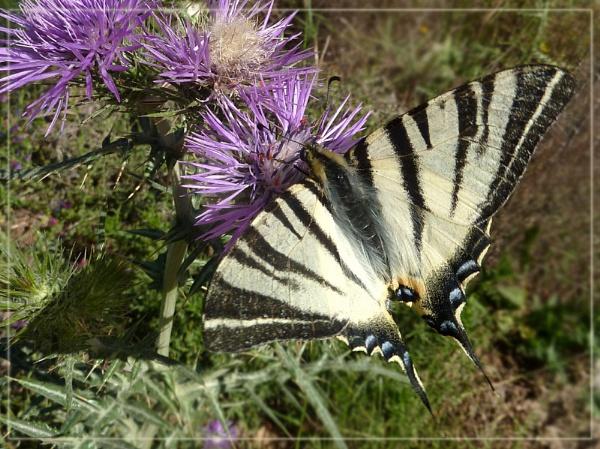 scarce swallowtail by CarolG