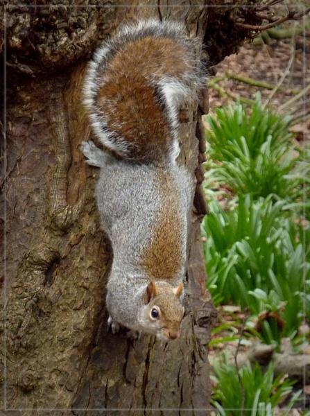 Kyoto squirrel by CarolG