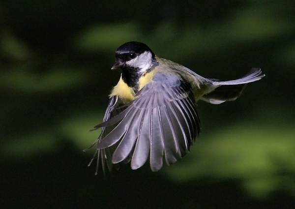 Linford Lakes Great Tits by NeilSchofield