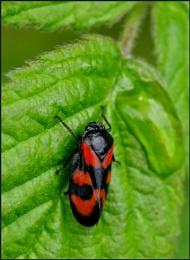 Froghopper on a Bramble Leaf.