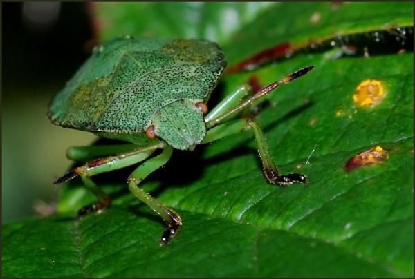 Green Shield Bug-Palomena prasina. by Badgerfred