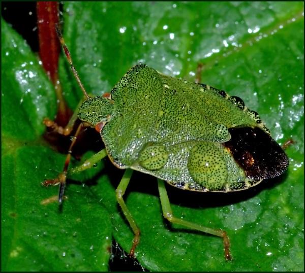 Green Shield Bug-Palomina prasina 02. by Badgerfred