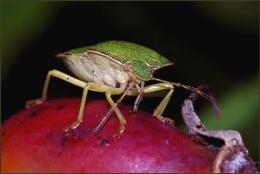 Green Shield Bug on Rose Hips.