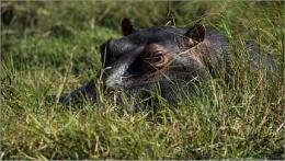 Hippo hidding in grass