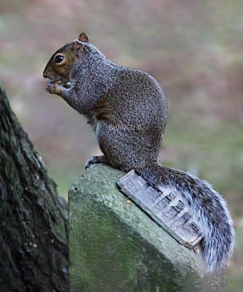 European ground squirrel by Jat_Riski