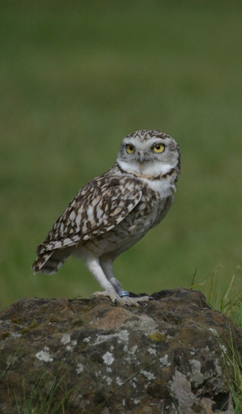 Burrowing Owl by peterthowe