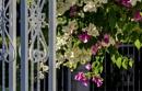 Bougainvillea Double Delight over the Gate by nonur