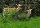 Deer. by silverfoxey