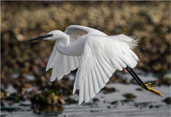 Egret in flight by mjparmy