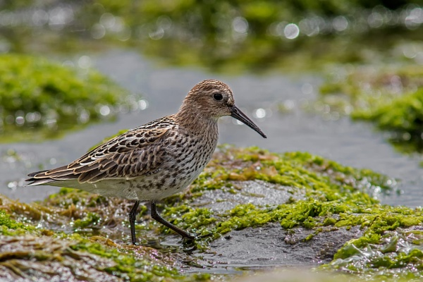 Dunlin (Calidris alpina) by Ray_Seagrove