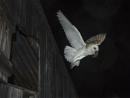 Barn Owl by Jamie_MacArthur