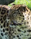 Siberian Leopard by Alan_Baseley