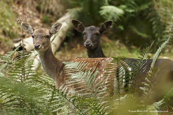 Doe a Deer by Louise_Morris