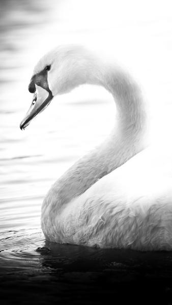Swan by true