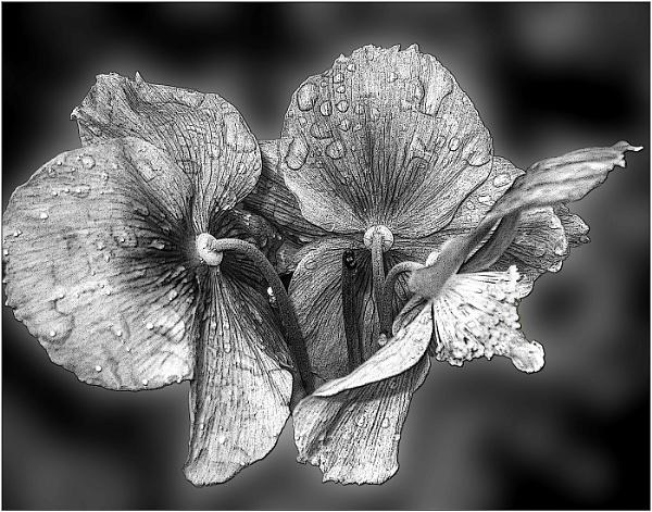 botanical study inono  meconopsis by derekp
