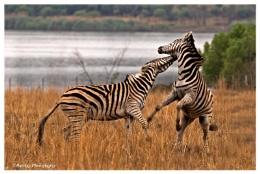 Dueling Zebras