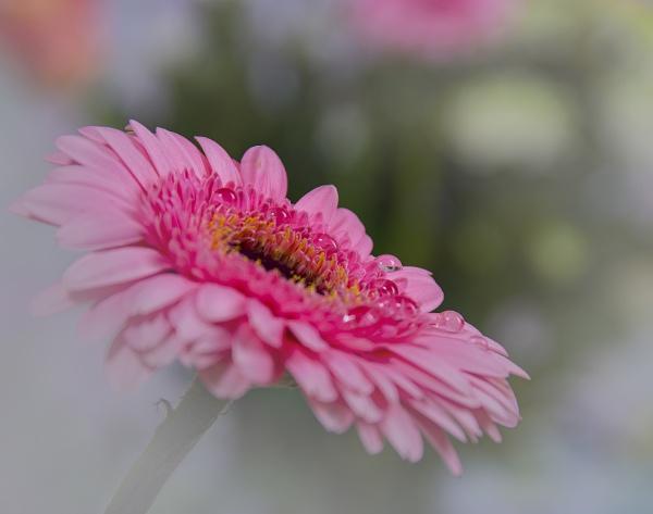 Daisy by Bickeringbush