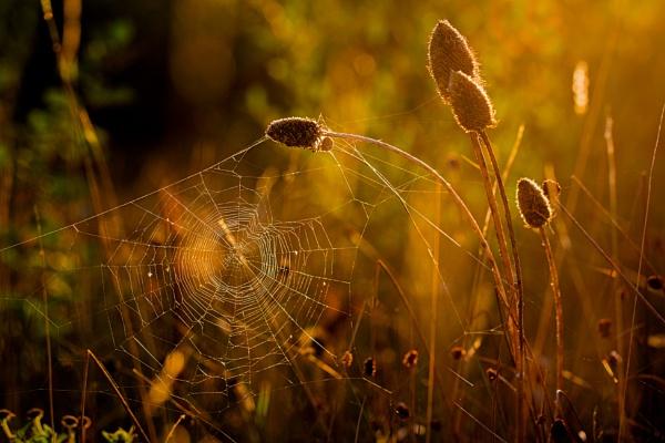 Teasel and Web by gowebgo