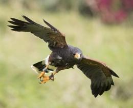 Close Encounters of the Harris Hawk Kind