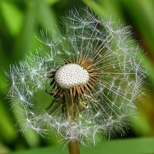 Dandelion by ColleenA