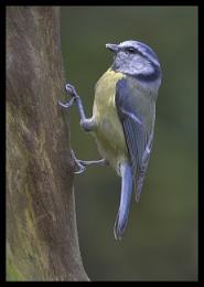 Blue Tit on Tree Stump