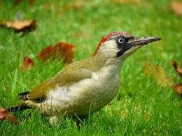 Green woodpecker (female)