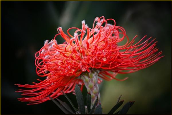 Leucospermum repens  (pincushion) by fotobee