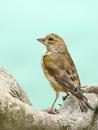 Greenfinch+Robin. by bobpaige1