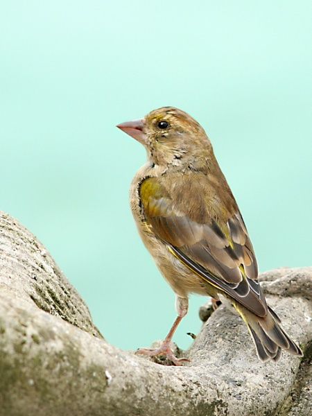 Greenfinch+Robin. by bobpaige1