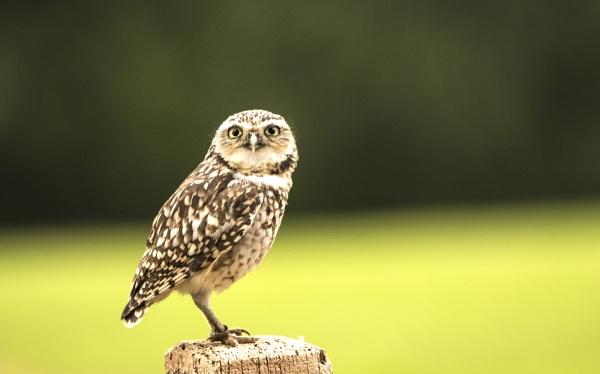 Burrowing Owl by peterjay80