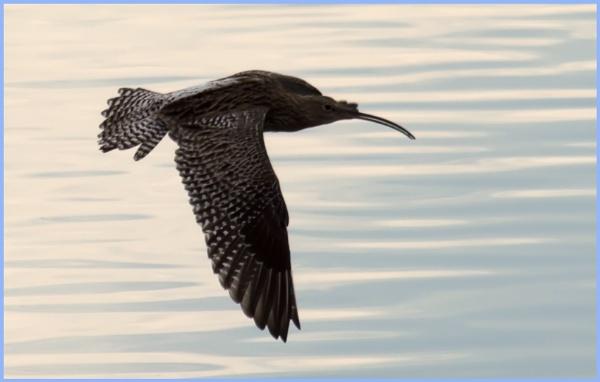 Curlew in flight by Trish53