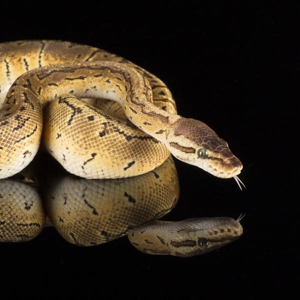 Ball Python by CanonRebecca22
