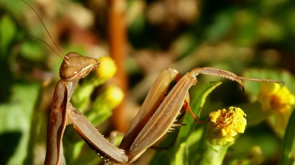 mantis by Bento