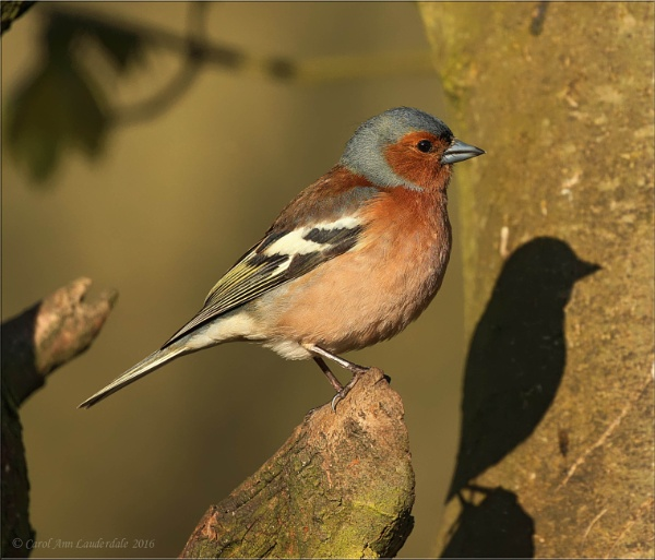 Male Chaffinch and Shadow by canoncarol