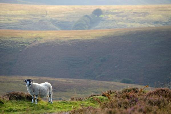 Exmoor sheep by paultee
