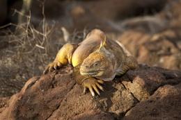 Land Iguana Galapagos Island